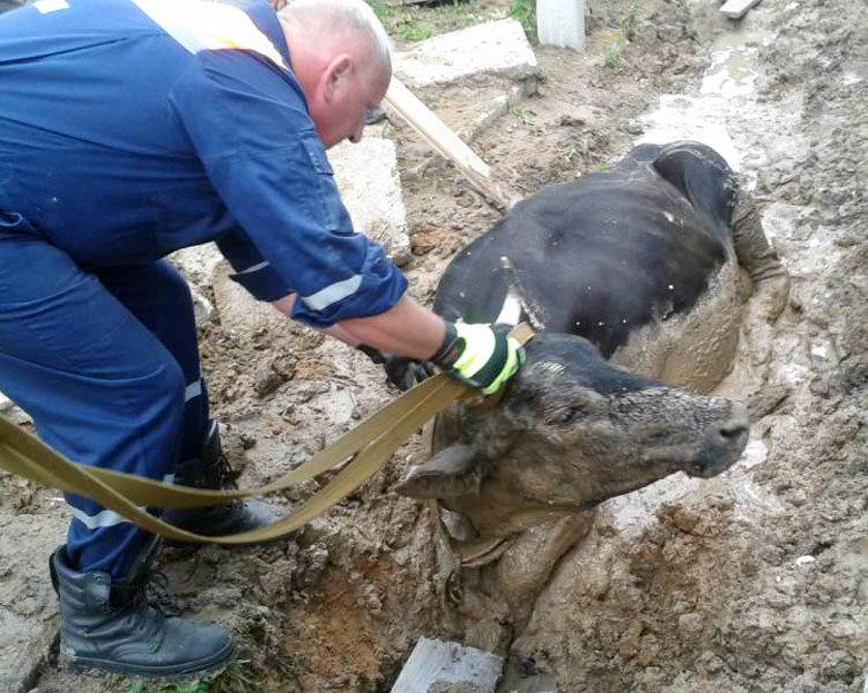 Двух провалившихся в траншею коров спасли в Бужанинове