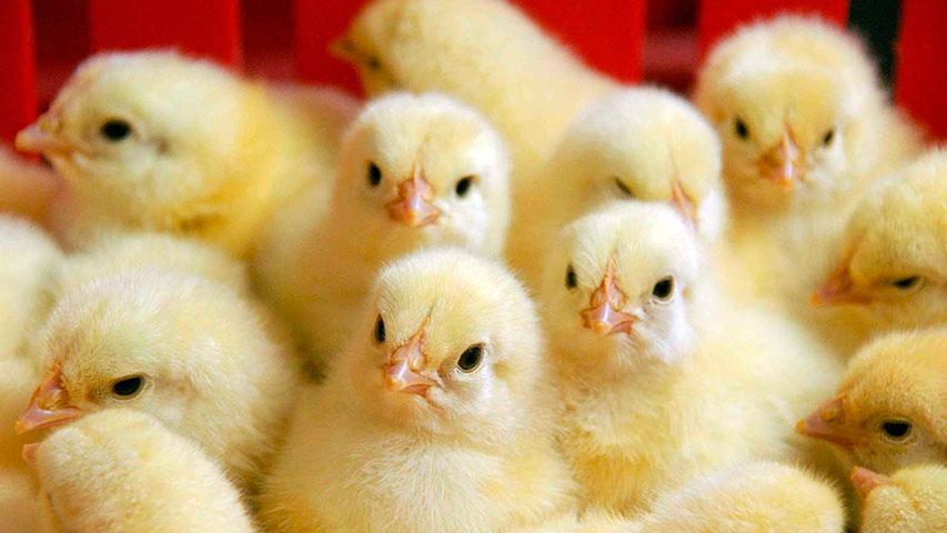 Птичий грипп вРостовской области вновь сразил производителя индейки